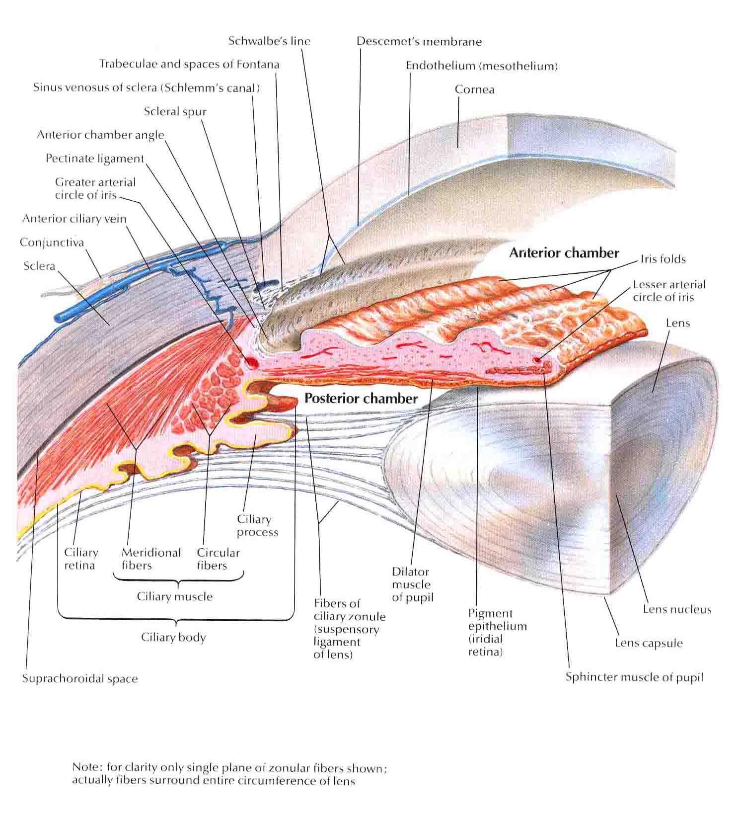 Similiar eye anatomy anterior chamber keywords eye anatomy anterior chamber ccuart Images