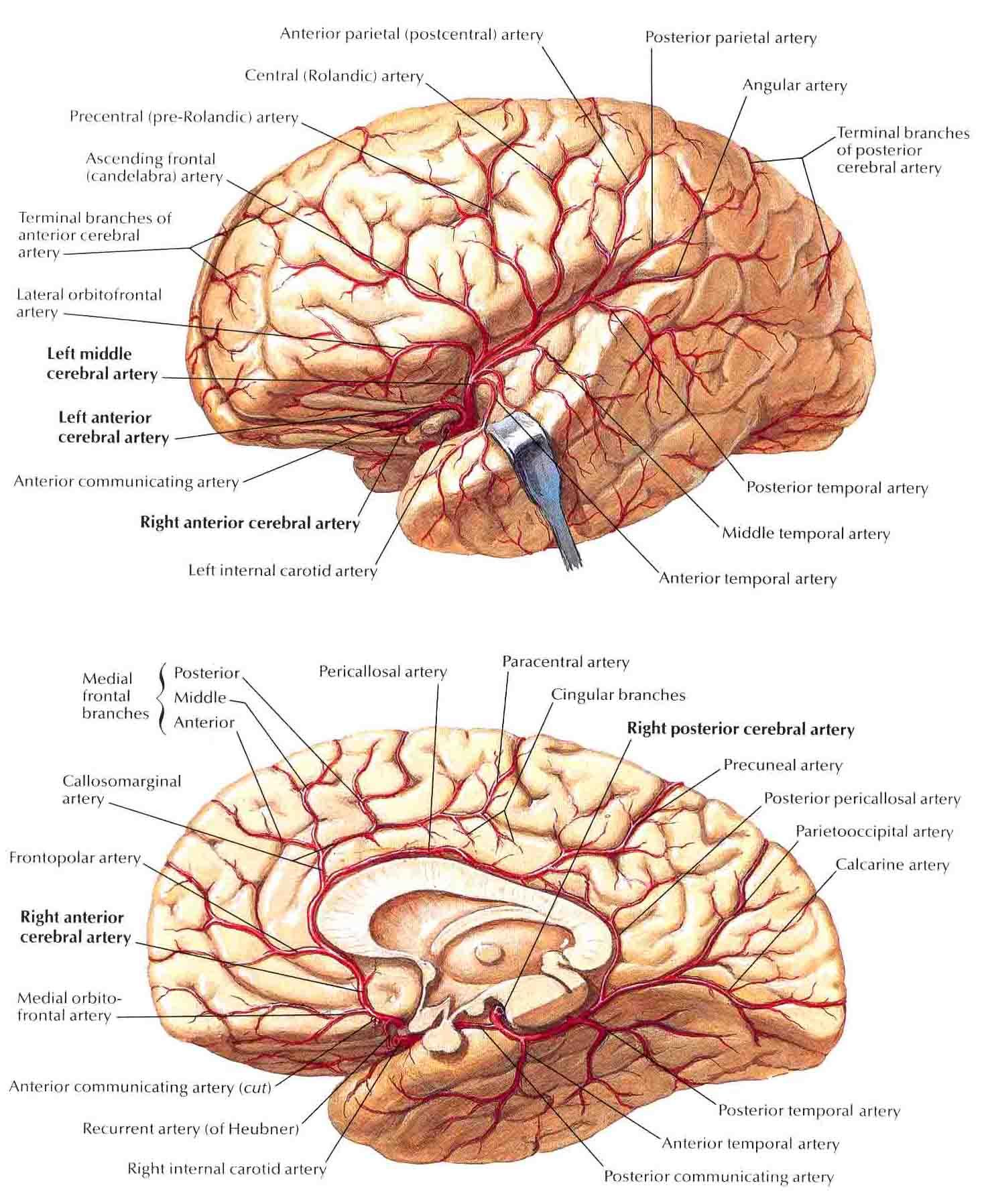 Images of Brain Medial View - #SpaceHero