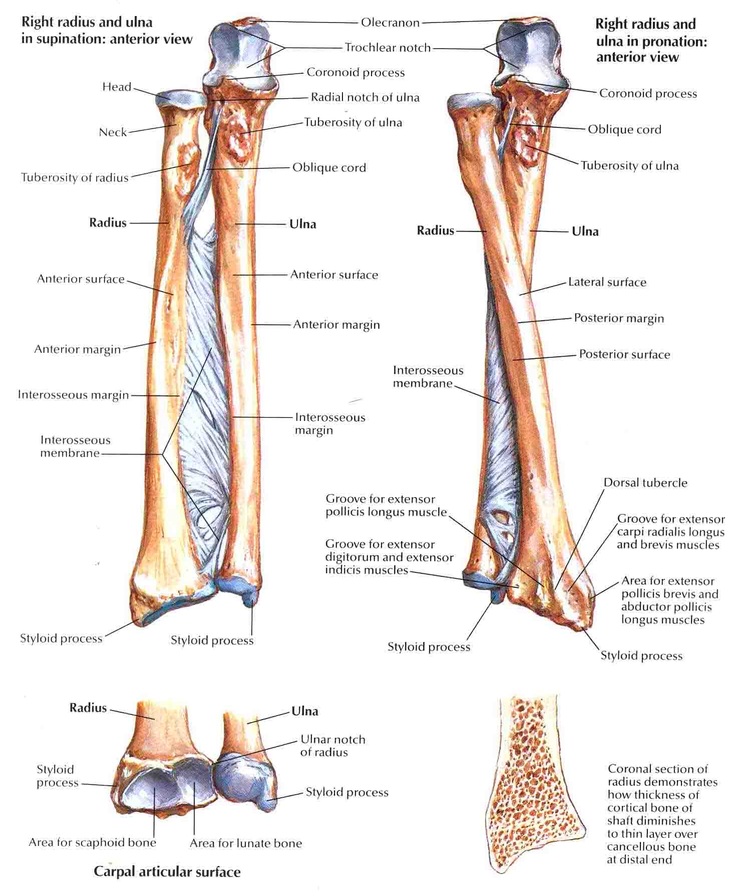 bones-of-forearm.jpg (1484×1780) | SDP Anatomy | Pinterest | Arm bones