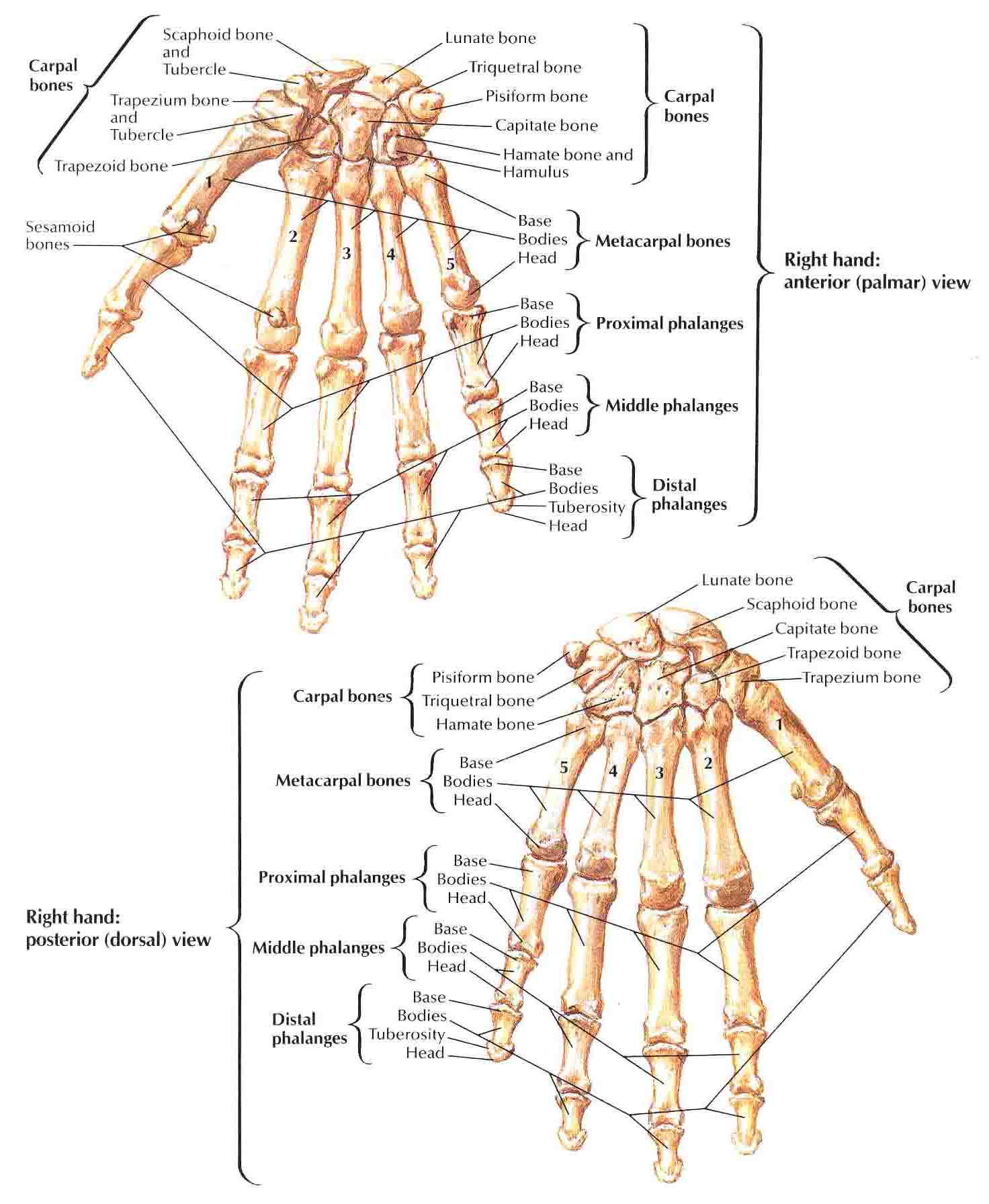... further Human Hand Nerve Anatomy. on hand and wrist bones diagram