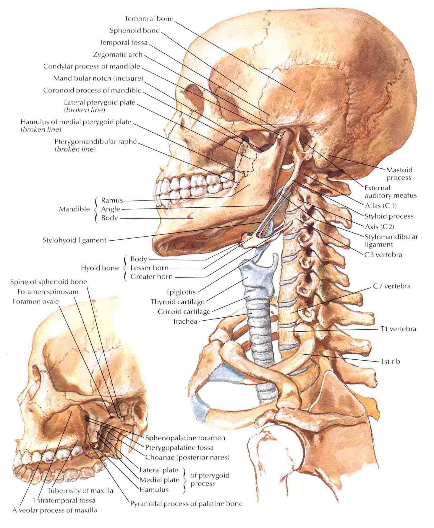 Spine Bones Diagram Best Wiring Library