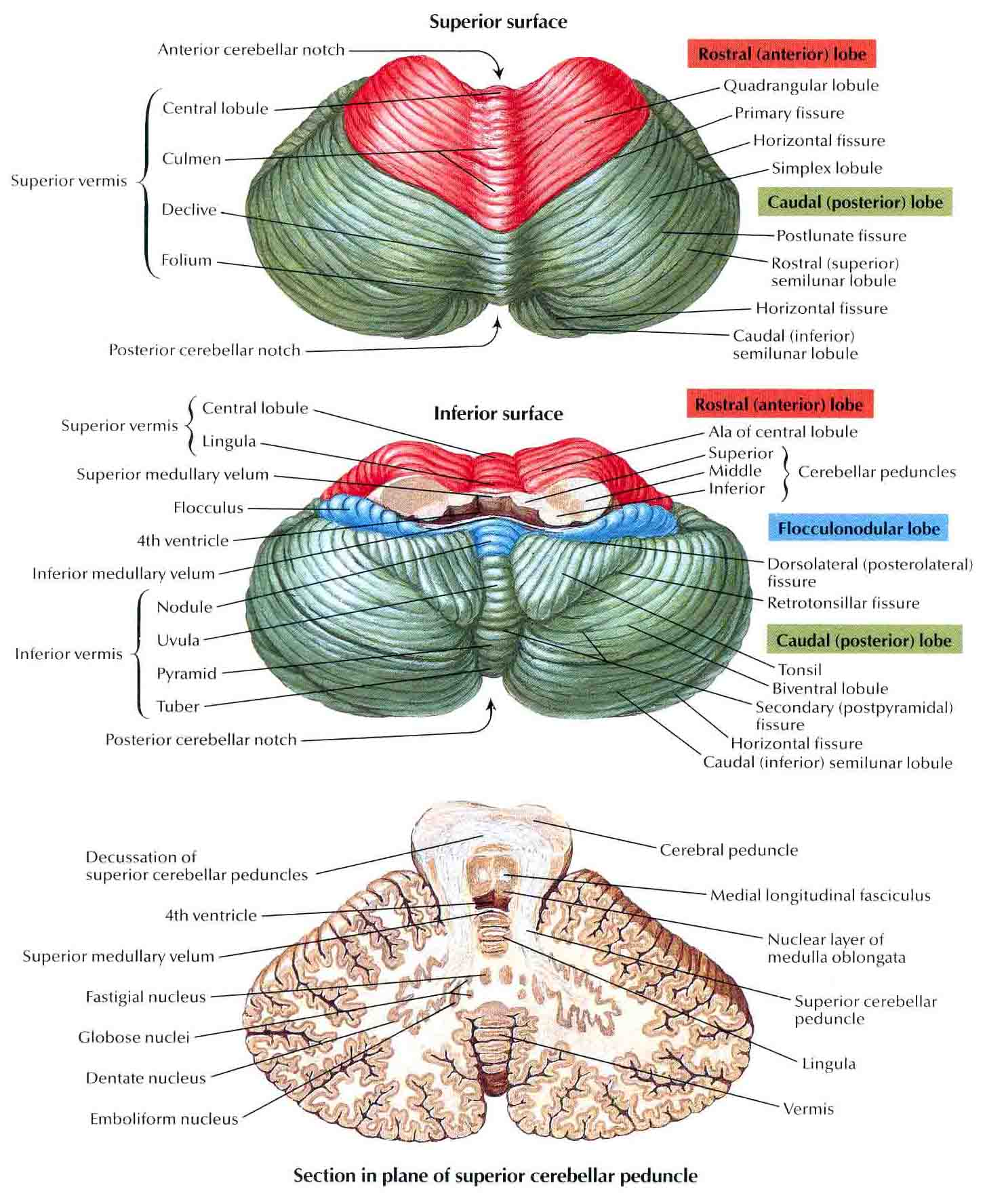 Cerebellum | Bedahunmuh's Blog Flocculonodular Lobe Label