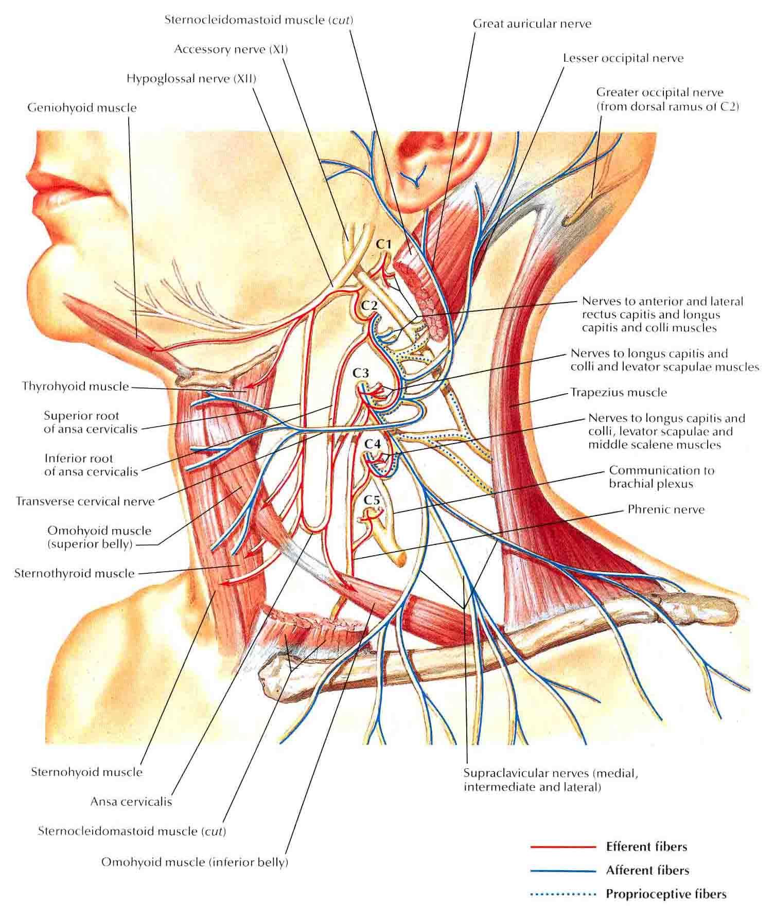 Superficial And Deep Cardiac Plexus Cervical Plexus Schema