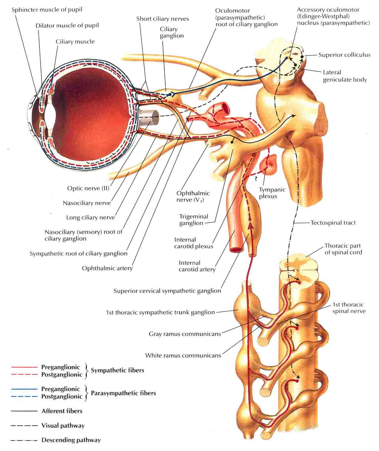Otic Ganglion Appendix - Anatomy for medical students with images