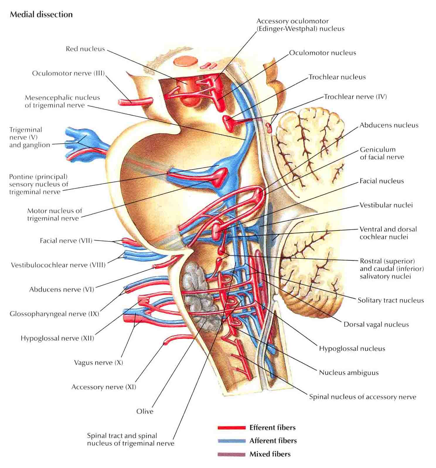 Brainstem Cranial Nerve Nuclei also 5600369 additionally Human Anatomy Organ Location Human Anatomy Liver Location Human Anatomy Liver Anatomy Human in addition Mesh info as well Thoracic Cavity. on ventral cavity location