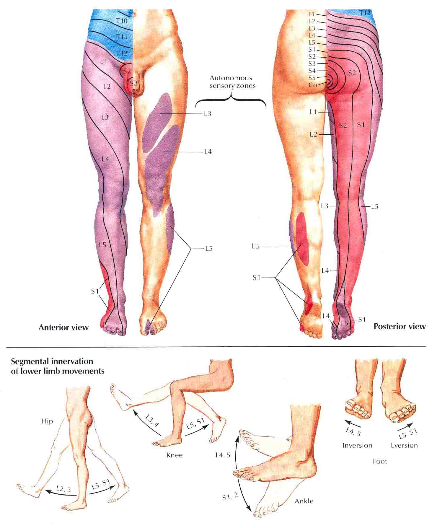 Dermatome Map http://bedahunmuh.wordpress.com/2010/05/14/dermatome-of-lower-limb/