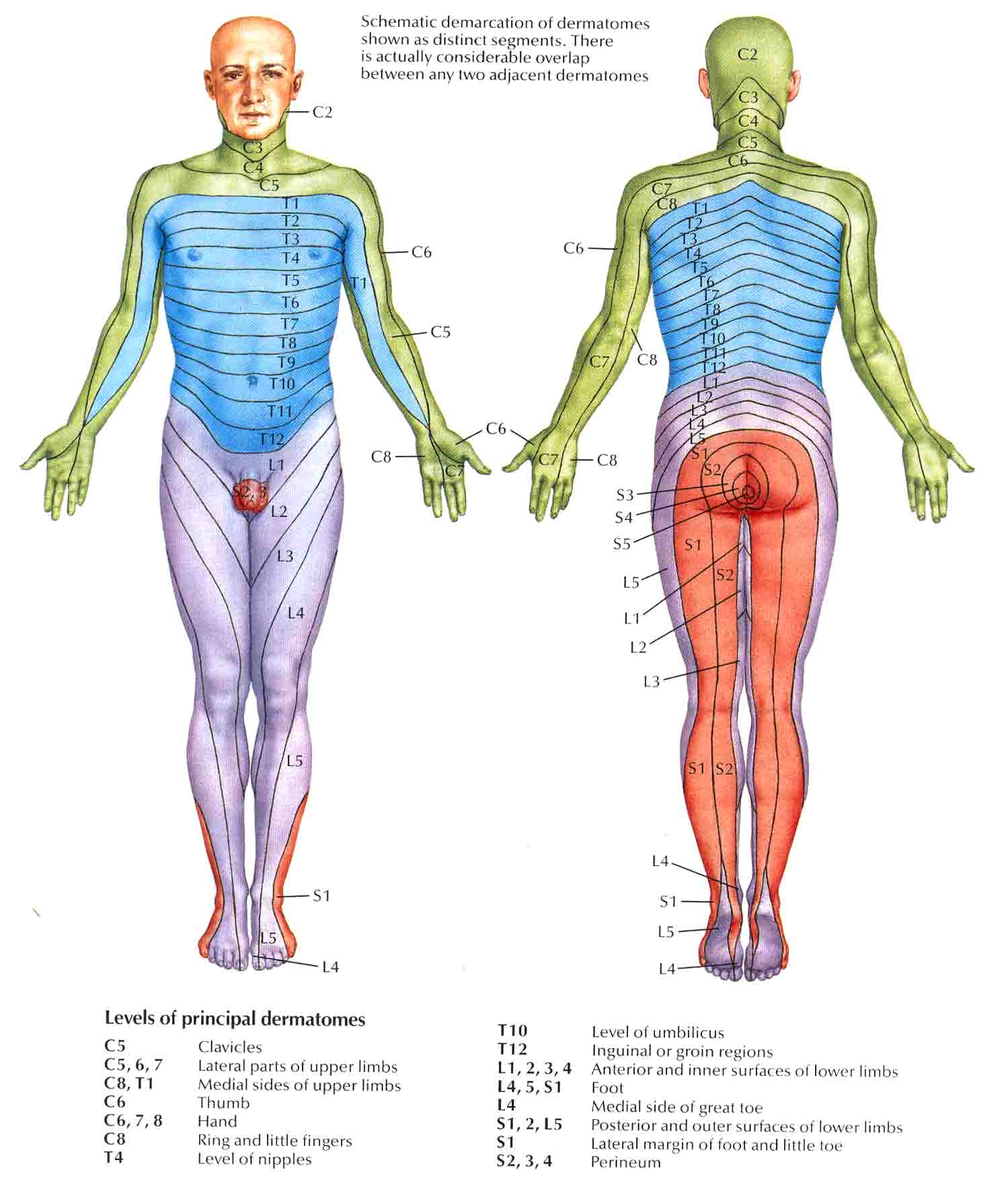 Dermatomes on thigh pain chart