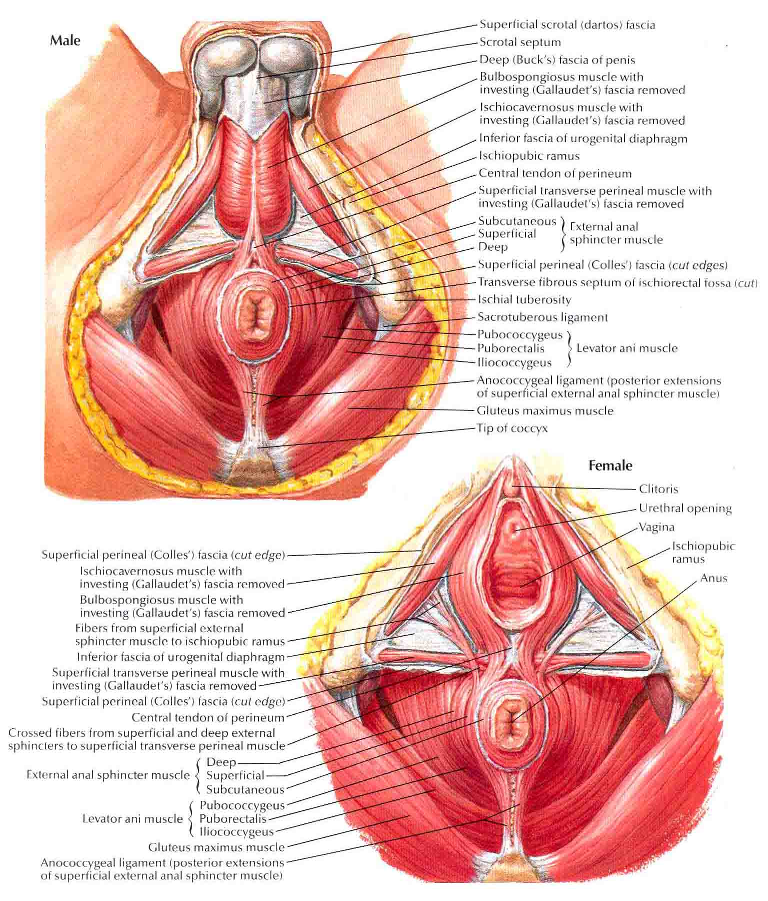 Sphincter muscle of anus