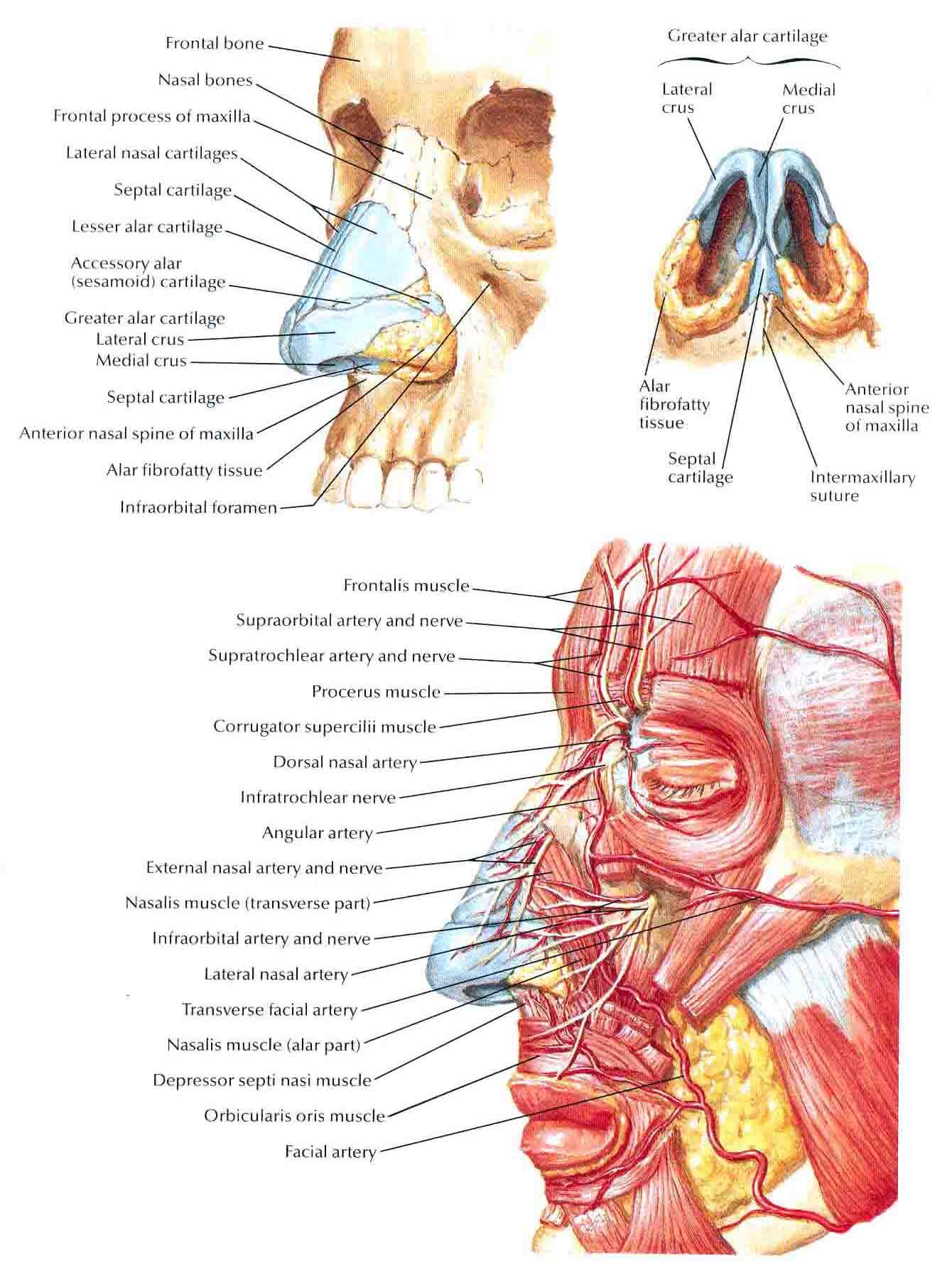 Nose External Anatomy Gallery Human Body Anatomy