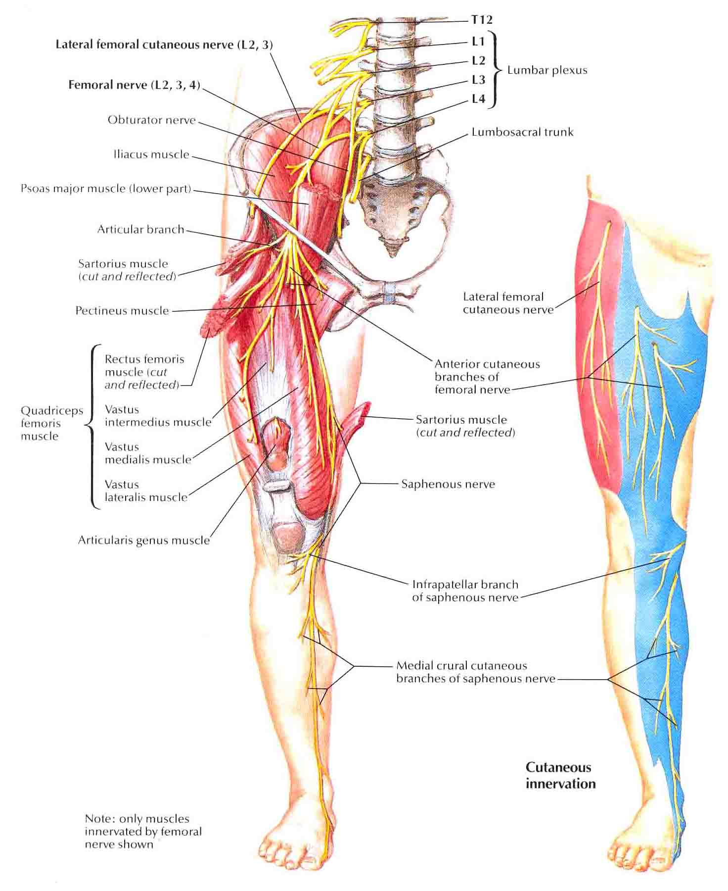 femoral nerve rehabilitation – citybeauty, Muscles
