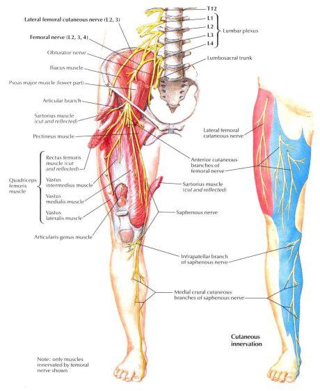 anatomi-patologi organ   bedahunmuh's blog, Muscles
