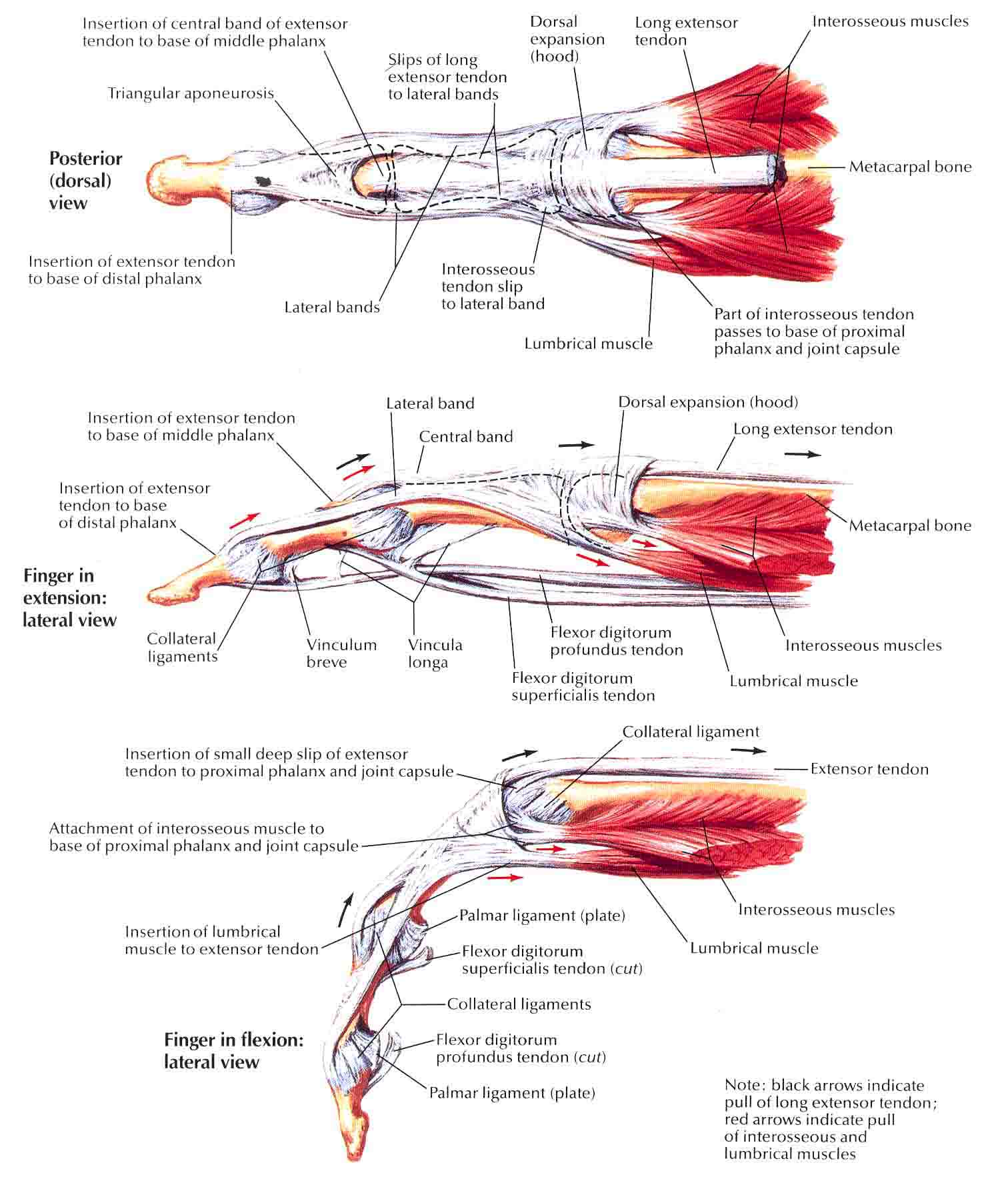 Thumb tendon anatomy