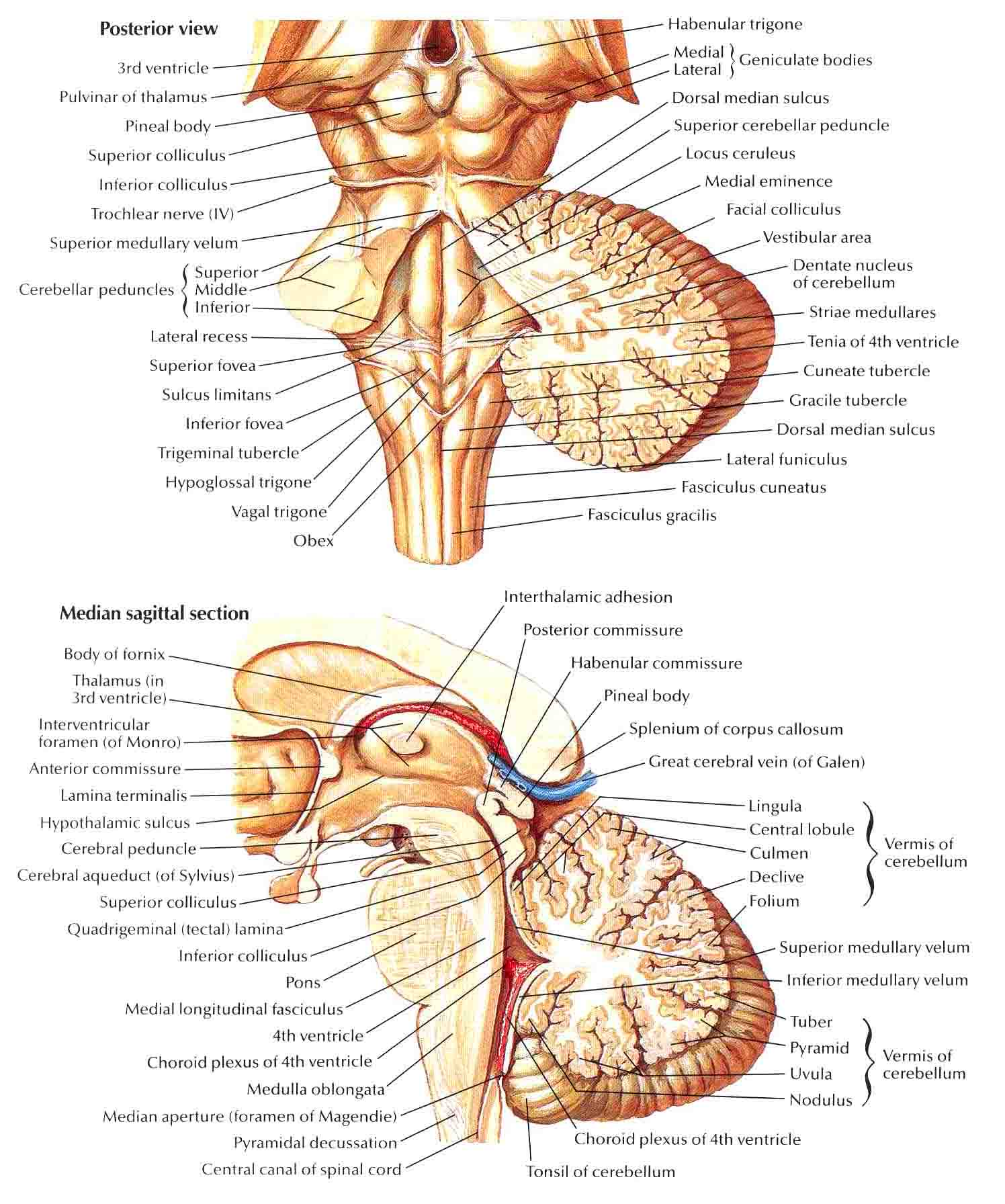 A head and neck for Floor of 4th ventricle