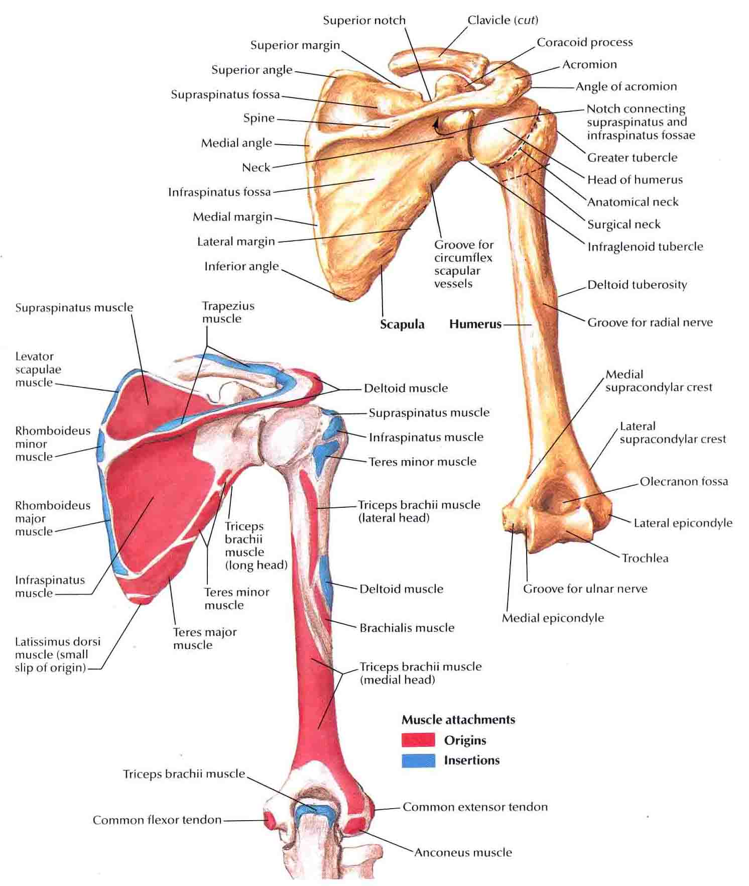 Humerus and Scapula-Posterior Views | Bedahunmuh's Blog