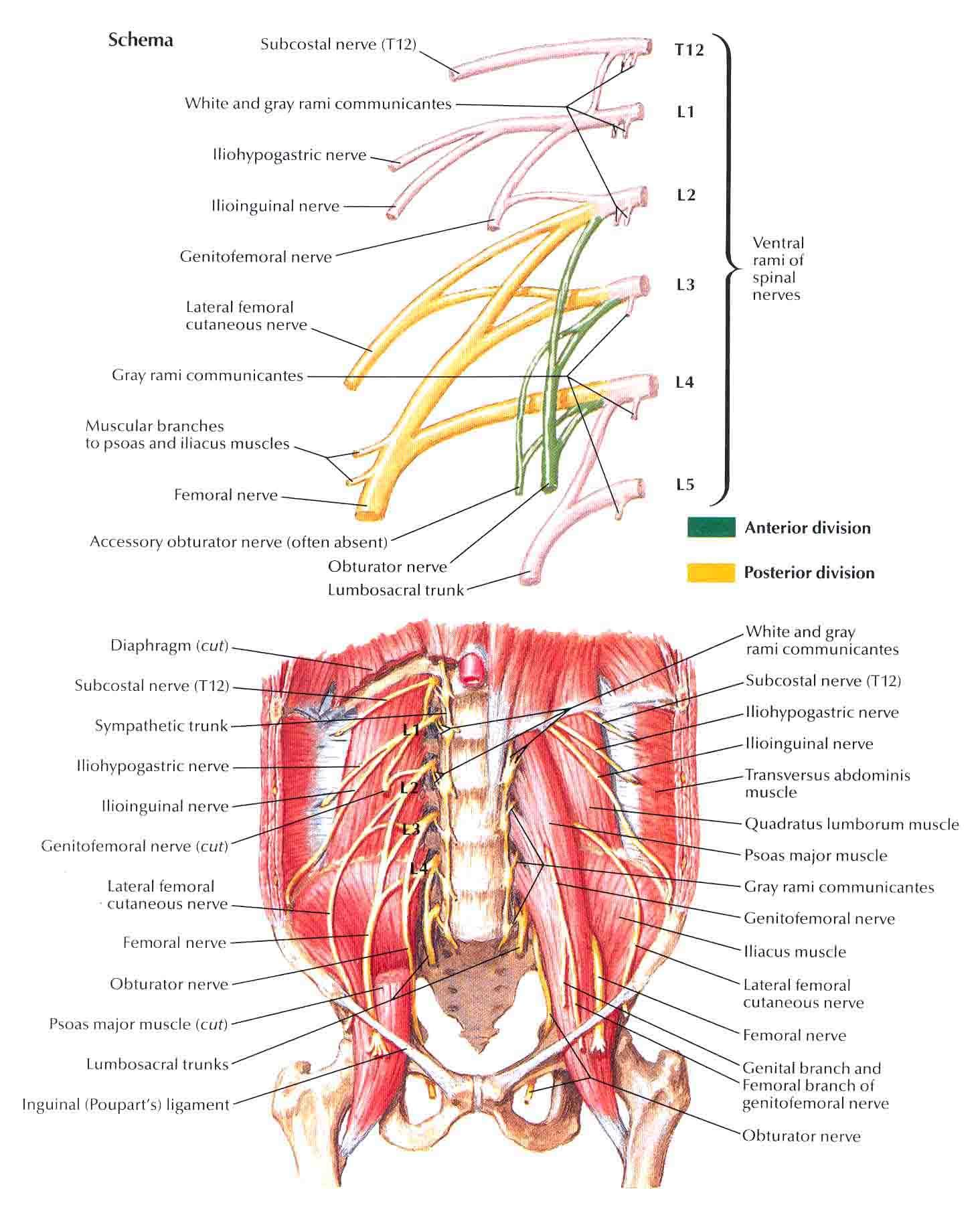 Treating Work-Related Brachial Plexus Injury with Nerve Transfer ...
