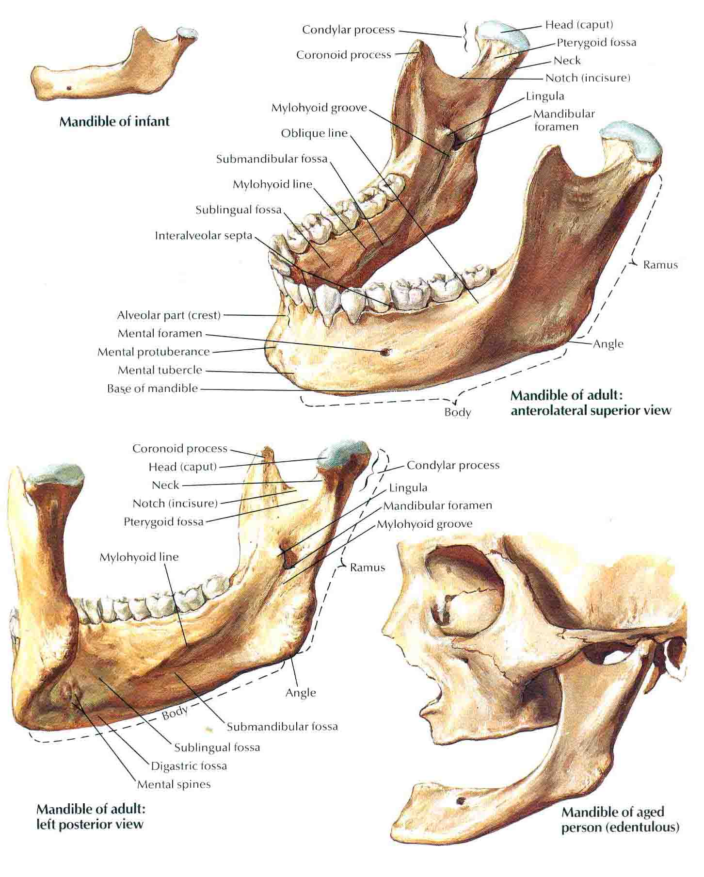 Maxillary And Mandibular Related Keywords & Suggestions ...