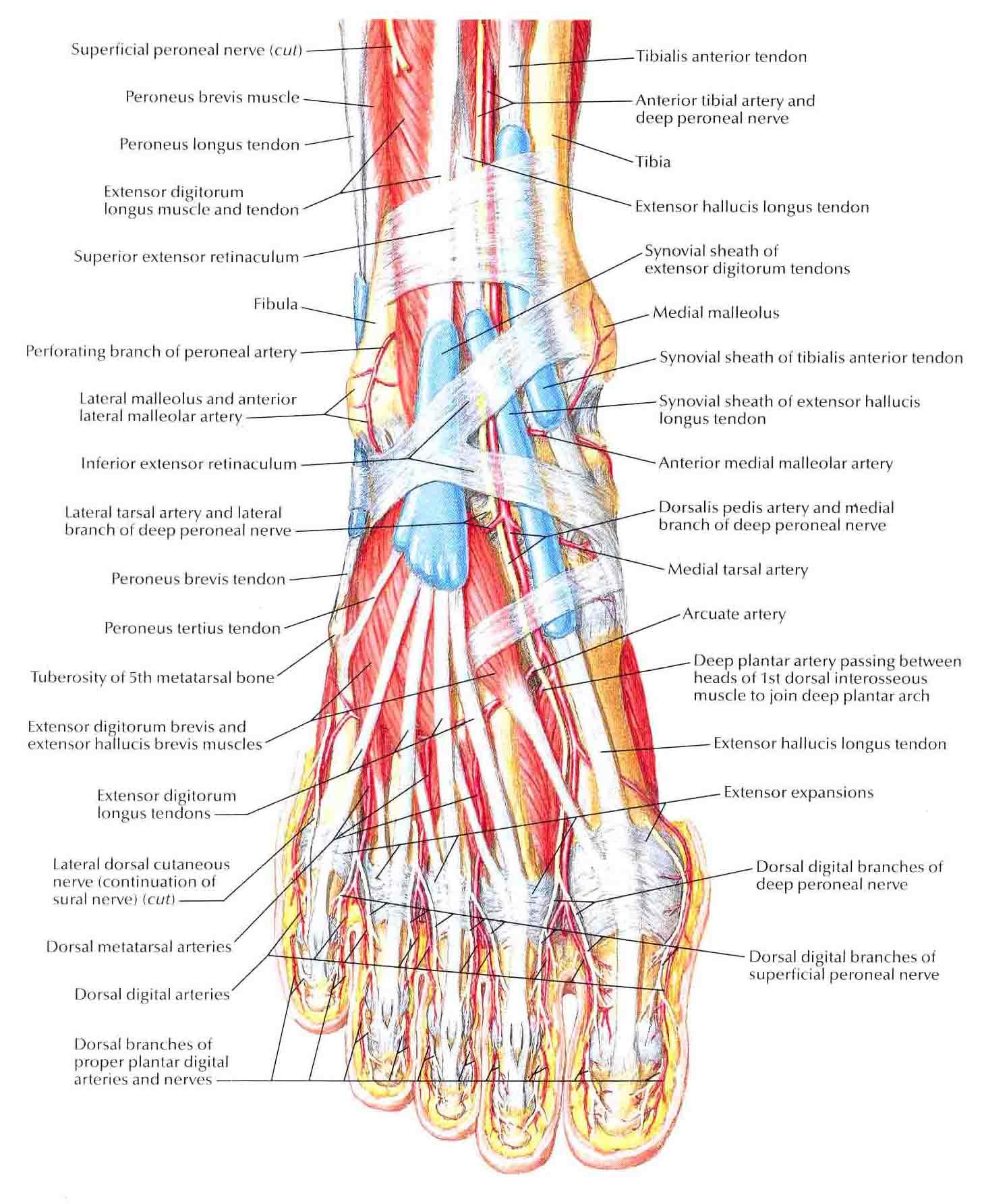 Muscles Of Dorsum Of Foot Superficial Dissection Bedahunmuhs Blog