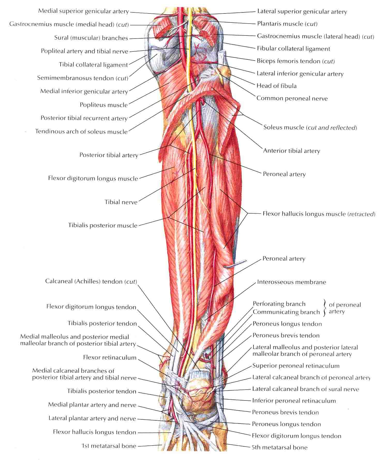 The gallery for --> Muscles Of The Upper Leg Posterior View