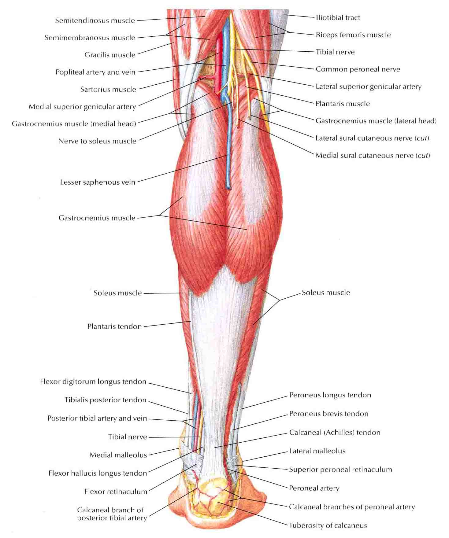 Muscles of Leg (Superficial Dissection)-Posterior View ...