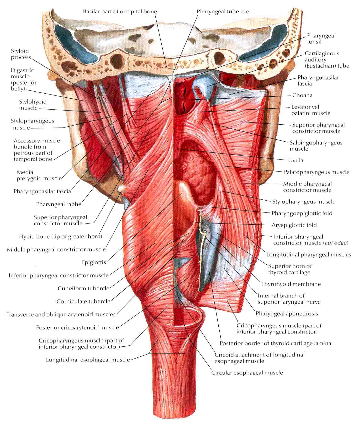Pharynx Anatomy E Lab