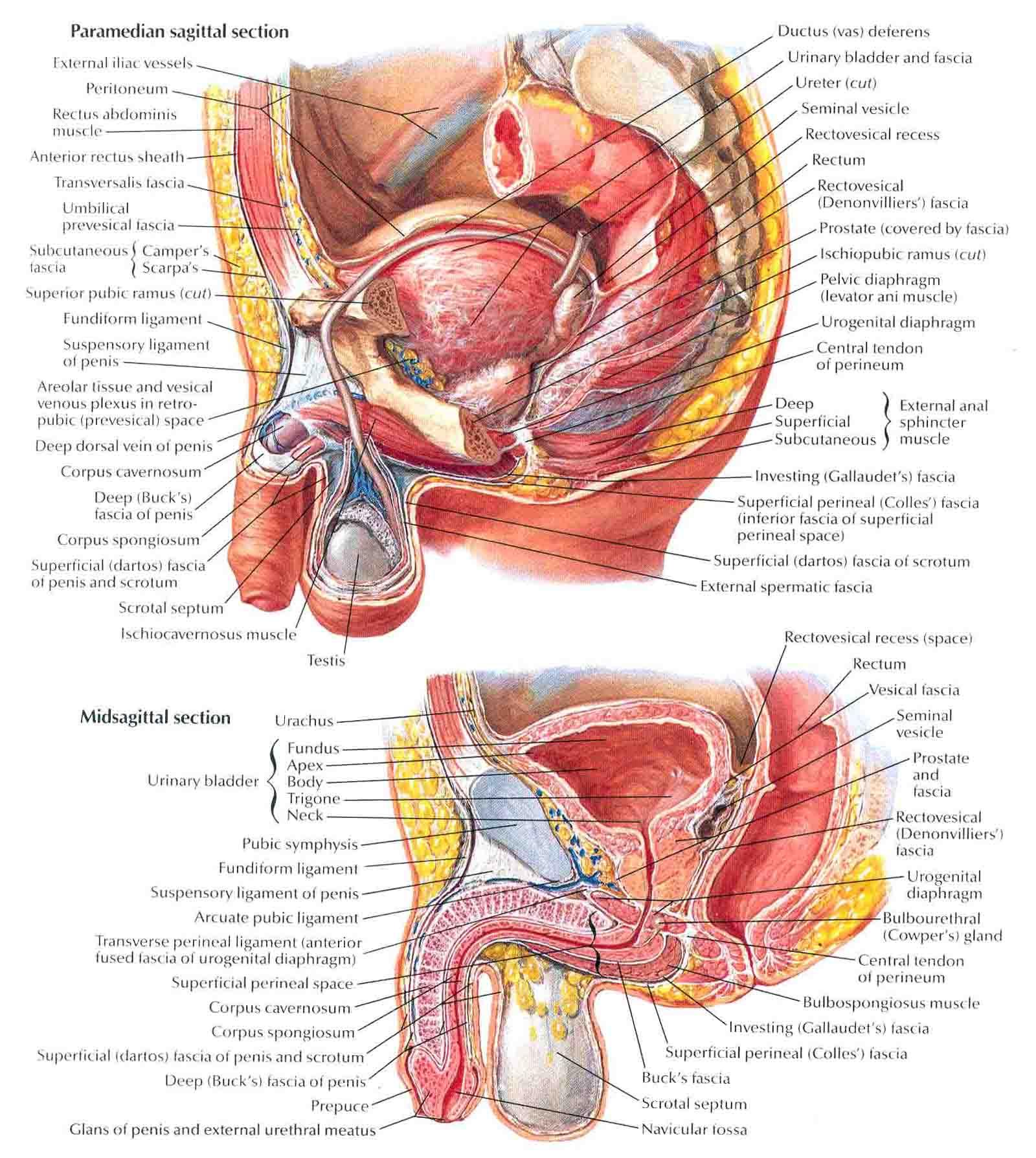 Male Perineum Diagram