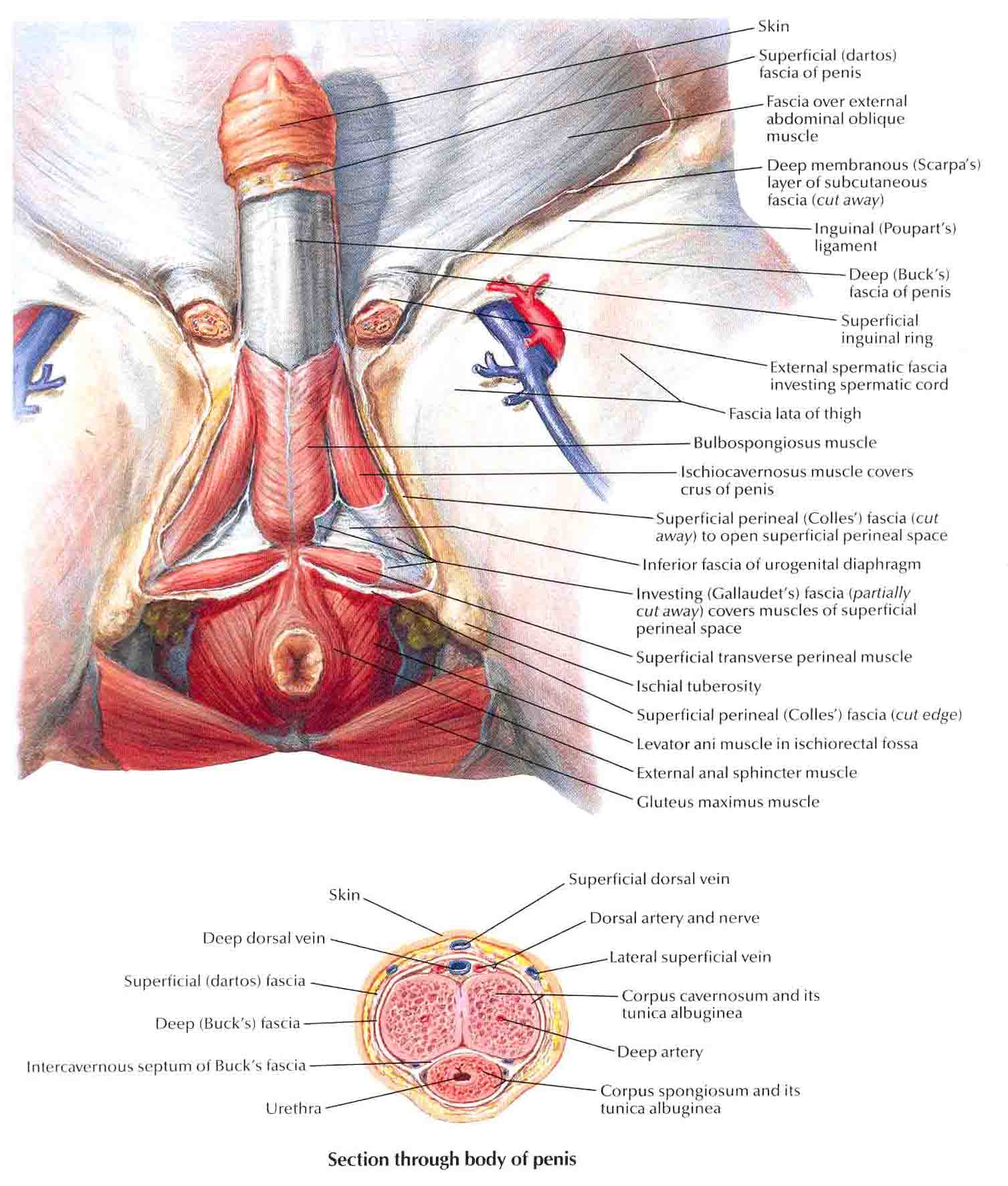 Perineum and External Genitalia (Deeper Dissection)-Male