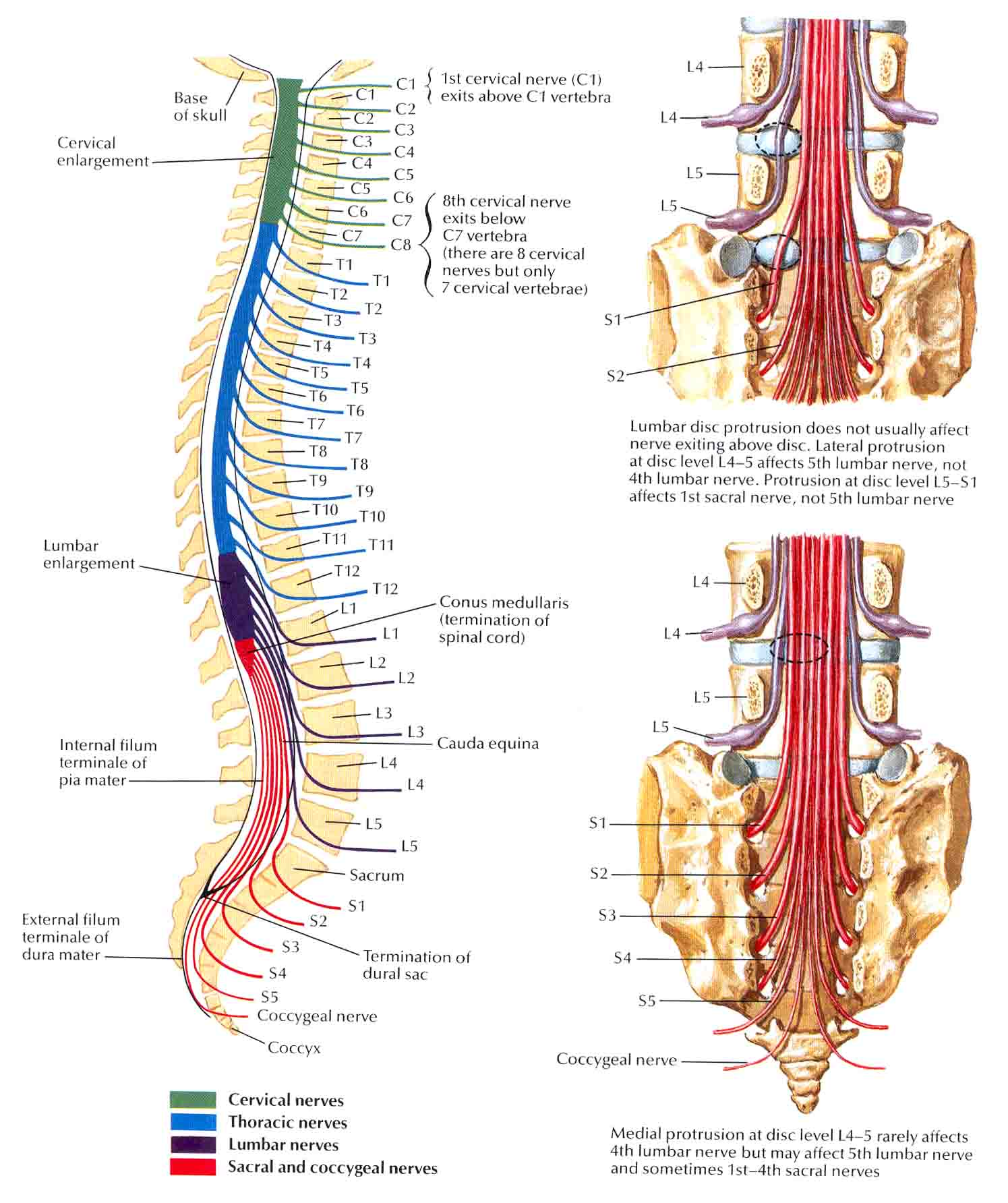Can Someone Explain This Spinal Nerve Shit To Me Medicalschool