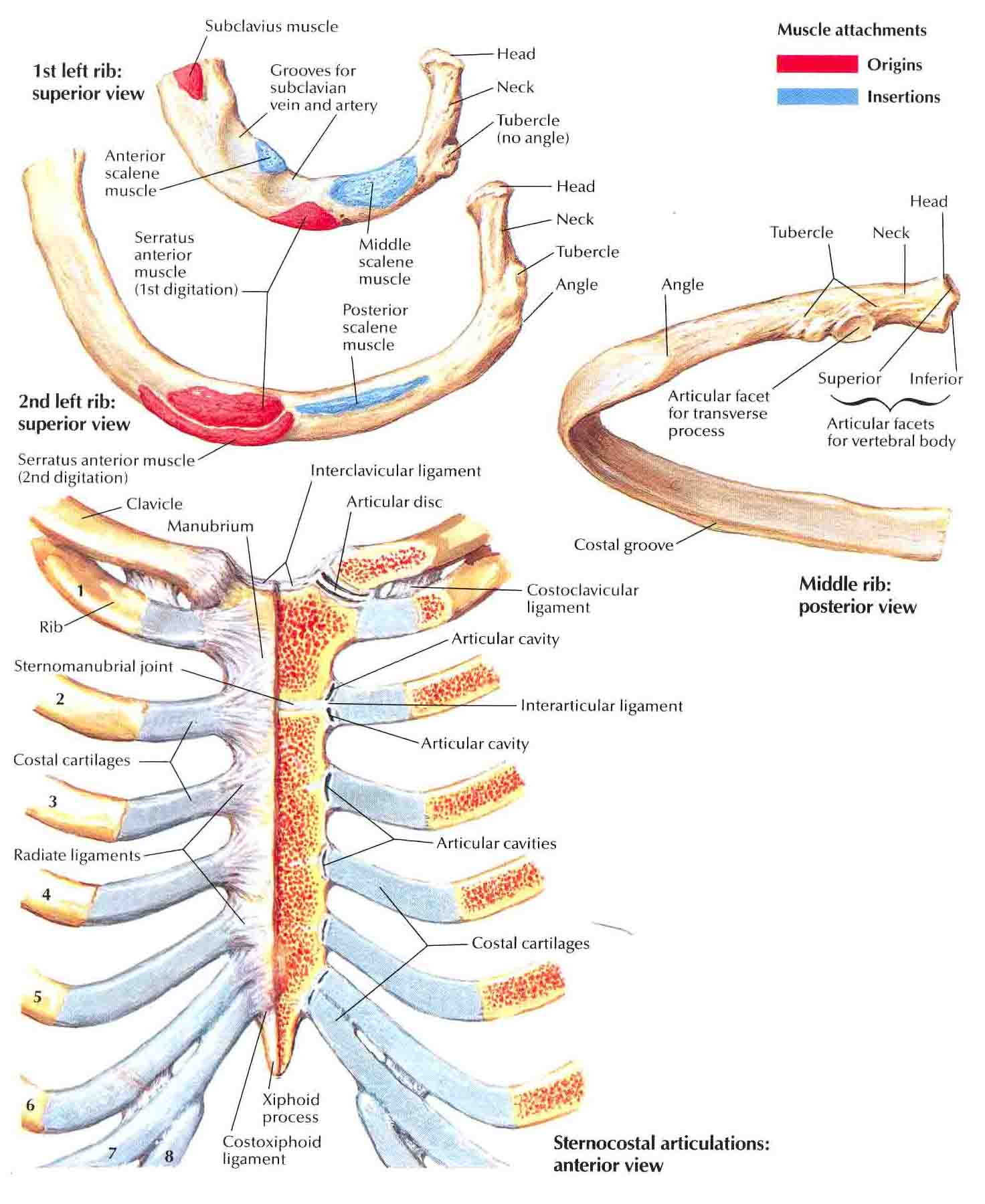 anatomy joints Crash course is now on patreon the 6 types of joints - human anatomy for artists - duration: 10:51 proko 775,582 views 10:51 types of joints in the.