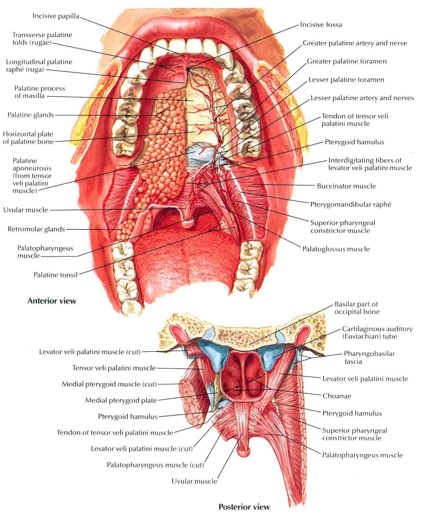 Roof Mouth Anatomy Gallery Human Body Anatomy