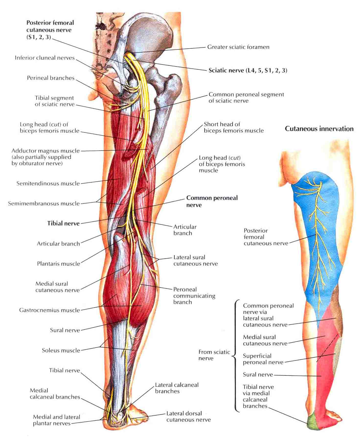 nerve: femoral nerve pain, Muscles