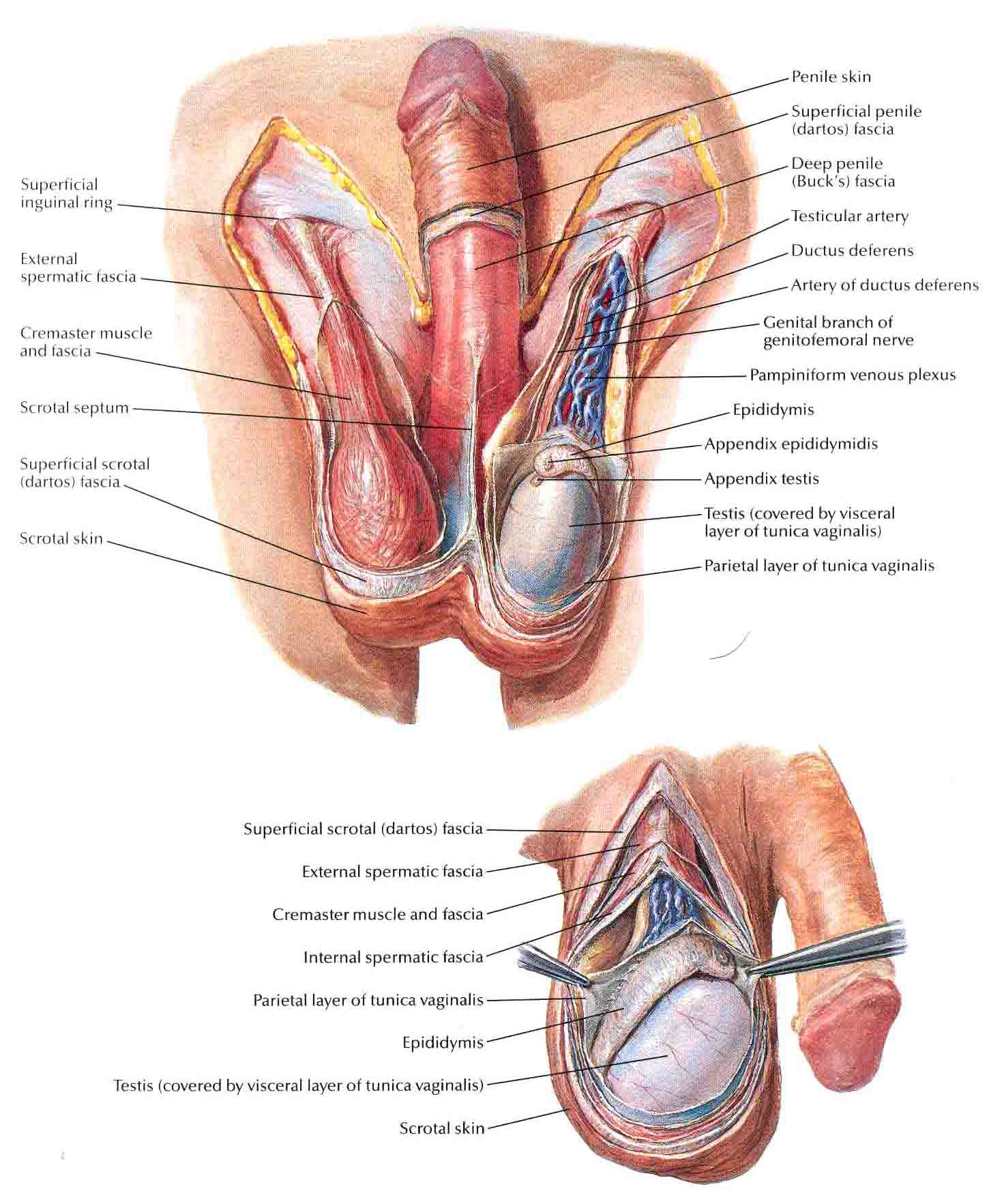 Scrotum Anatomy http://bedahunmuh.wordpress.com/2010/05/13/scrotum-and-contents/