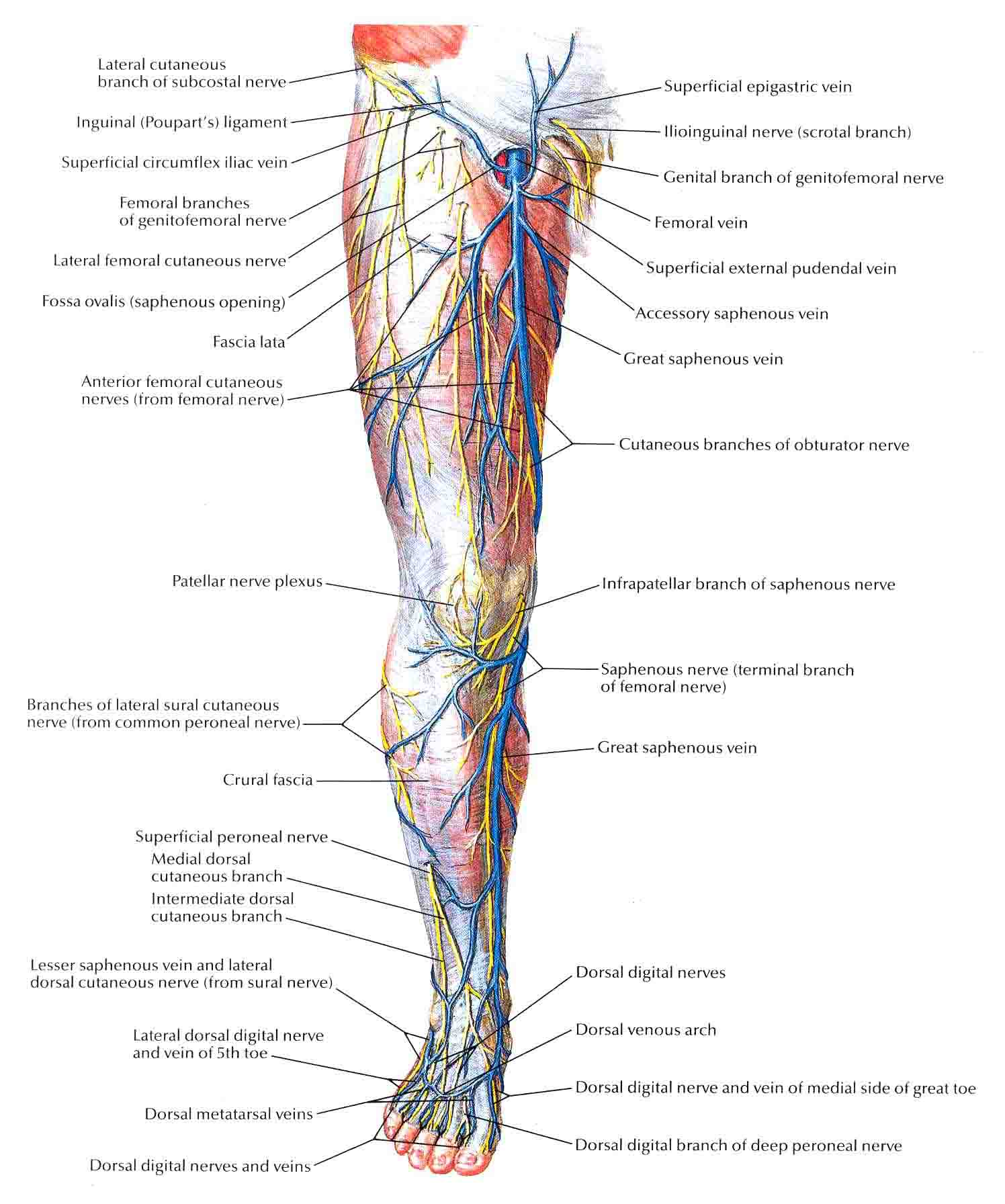 Labeled Diagram Of The Arteries In Legs