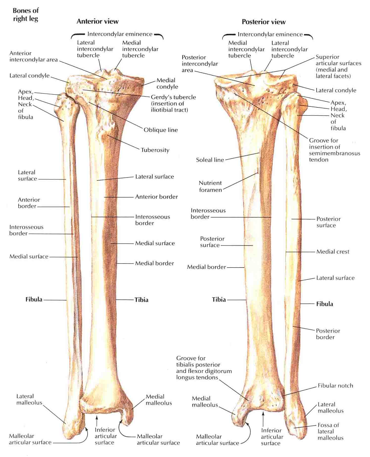 fibula the leg bone located on the lateral side of the tibia