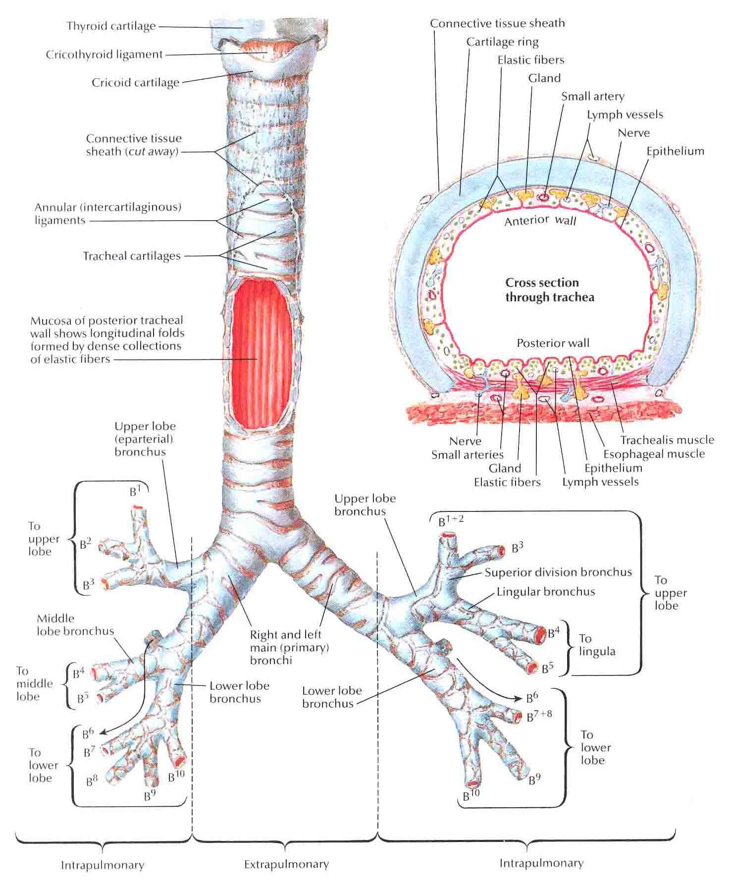 Unique Anatomy Of Bronchi Sketch - Human Anatomy Images ...