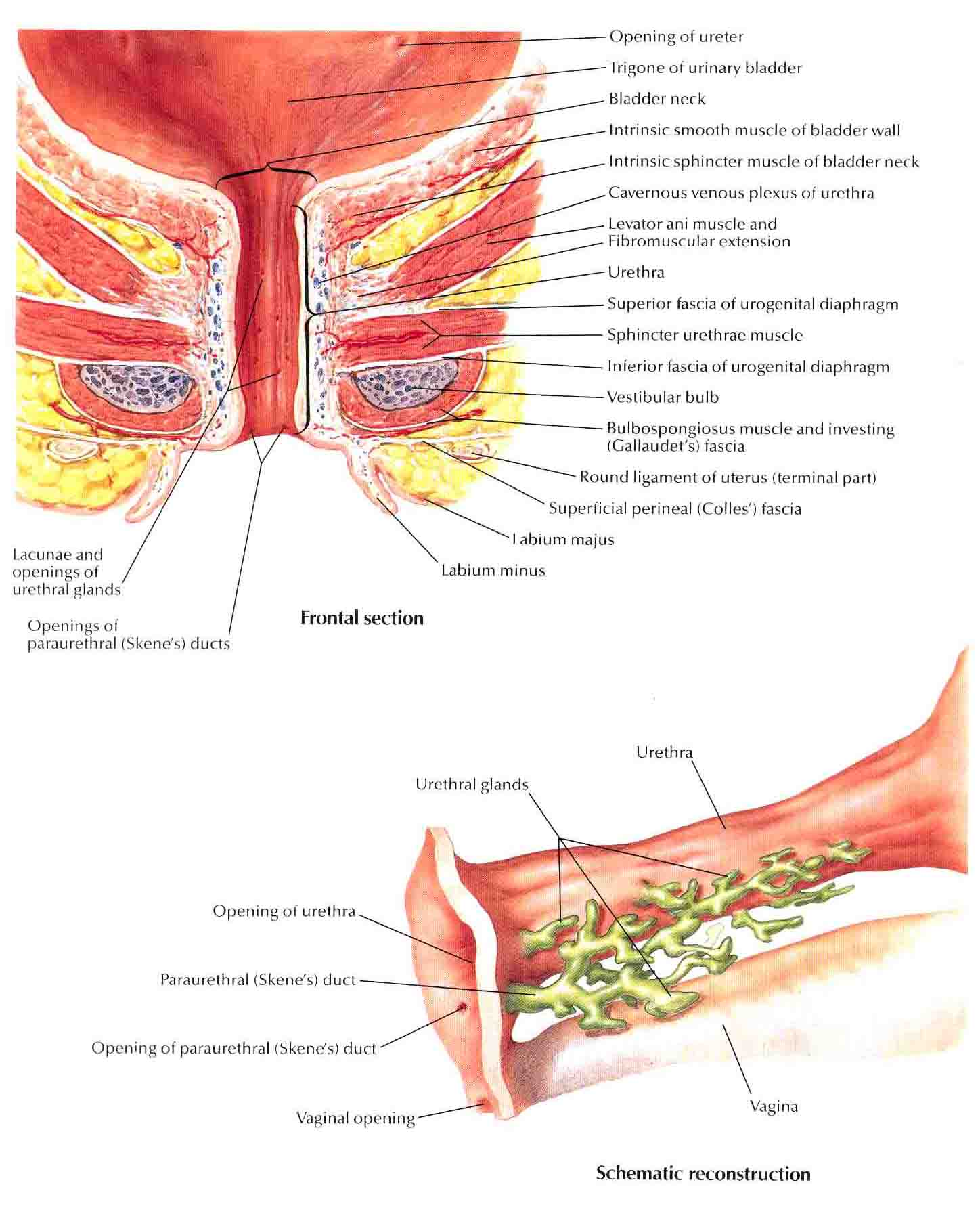 Female anatomy urethra