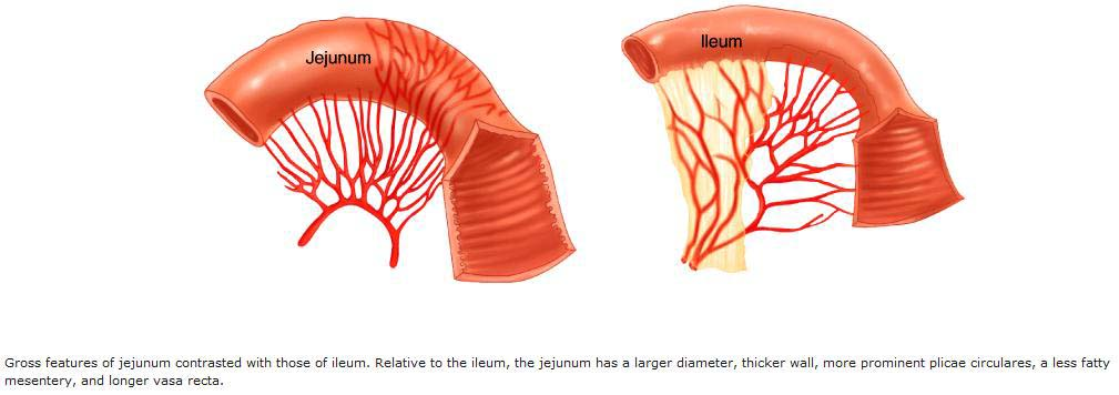 Ileum and Jejunum http://bedahunmuh.wordpress.com/page/31/